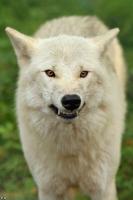 Wolf_Auh1209-Mon-18