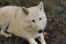 Wolf_Auh1209-Mon-19