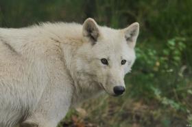 Wolf_Auh1209-Mon-20