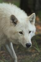 Wolf_Auh1209-Mon-21