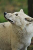 Wolf_Auh1209-Mon-23