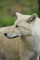 Wolf_Auh1209-Mon-24