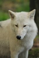 Wolf_Auh1209-Mon-25
