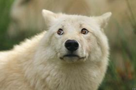 Wolf_Auh1209-Mon-26