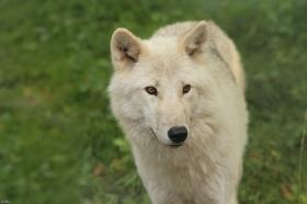 Wolf_Auh1209-Mon-27