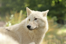 Wolf_Auh1209-Mon-29
