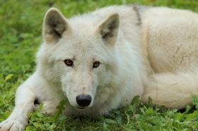 Wolf_Auh1209-Mon-31