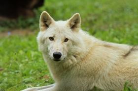 Wolf_Auh1209-Mon-32