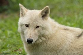 Wolf_Auh1209-Mon-33