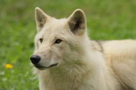 Wolf_Auh1209-Mon-35