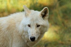 Wolf_Auh1209-Mon-36