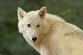 Wolf_Auh1209-Mon-37
