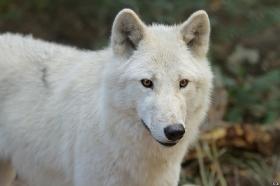 Wolf_Auh1209-Mon-38