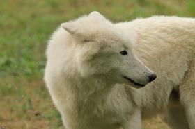 Wolf_Auh1209-Sco-01