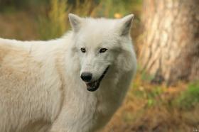 Wolf_Auh1209-Sco-02