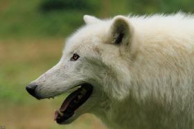 Wolf_Auh1209-Sco-03