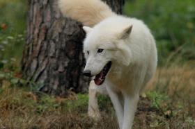 Wolf_Auh1209-Sco-04