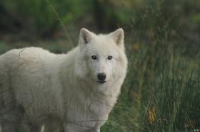 Wolf_Auh1209-Sco-05