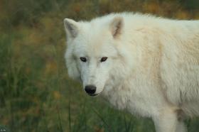 Wolf_Auh1209-Sco-06