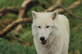 Wolf_Auh1209-Sco-07