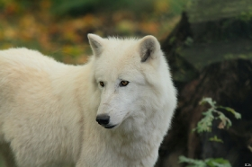 Wolf_Auh1209-Sco-08
