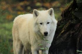 Wolf_Auh1209-Sco-09