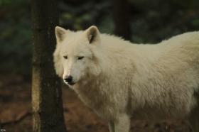 Wolf_Auh1209-Sco-10