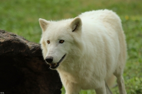 Wolf_Auh1209-Sco-11