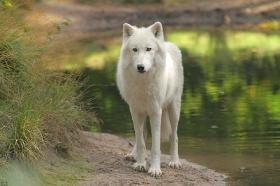 Wolf_Auh1209-Sco-14