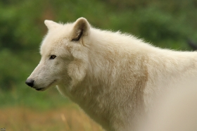 Wolf_Auh1209-Sco-15