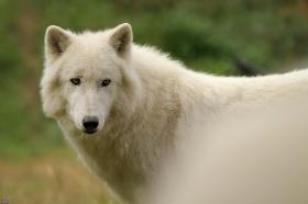 Wolf_Auh1209-Sco-16