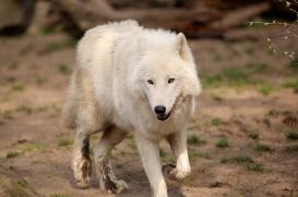 Polar Wolves