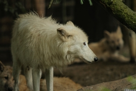 Wolf_Duis1308-01