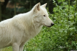 Wolf_Duis1308-04