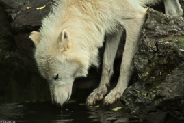 Wolf_Duis1308-07