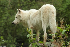 Wolf_Duis1308-08