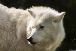 Wolf_Duis1309-03