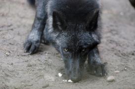 Pup5m13LueneburgBineG_black-15