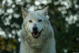 Wolf_Dub1410-Motomo-06