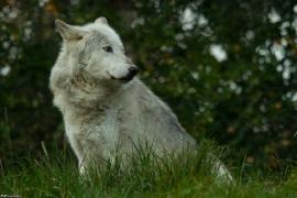 Wolf_Dub1410-Motomo-07