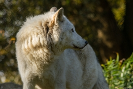 Wolf_Dub1410-Motomo-09
