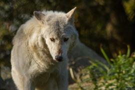 Wolf_Dub1410-Motomo-10