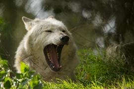 Wolf_Dub1410-Motomo-11