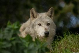 Wolf_Dub1410-Motomo-12