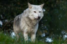 Wolf_Dub1410-Tahni-01