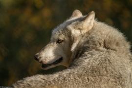 Wolf_Dub1410-Tahni-03