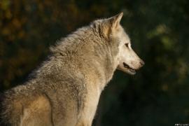 Wolf_Dub1410-Tahni-04
