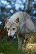 Wolf_Dub1410-Tahni-05