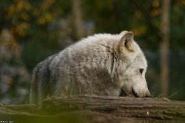 Wolf_Dub1410-Tahni-06