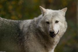 Wolf_Dub1410-Tahni-07